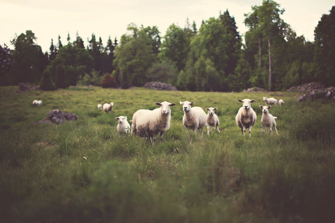 Herd of sheep in a field